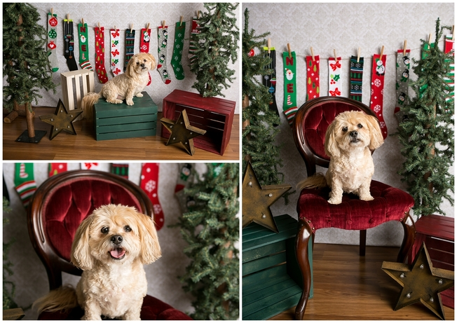 Puppy holiday mini sessions at Ritzy Rover by Denver photographer Kristina Lynn Photography & Design